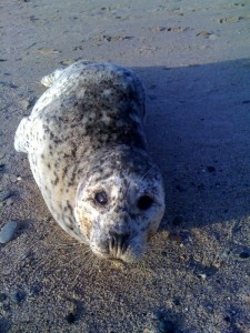 Tinsel the Harbor Seal