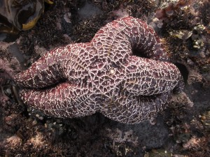 Ochre stars can be orange or this dark, almost brownish purple.