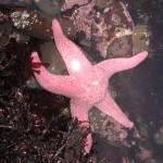 The pink star has graceful, tapering arms.
